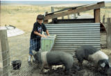 Boy working with 4-H project pigs